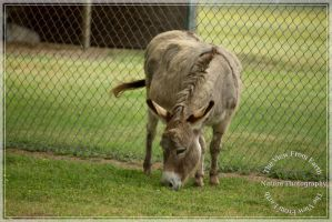 This is a donkey by Ankh-Infinitus