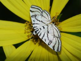 Conchylodes ovulalis moth by duggiehoo