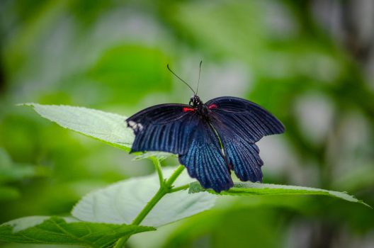 Black butterfly by leglaunecmichel