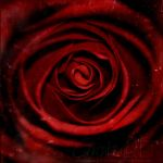 rose by dini25