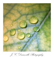 Leaf and Droplets by jdrainville