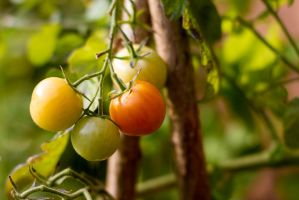 tomatoes by Miraqulix