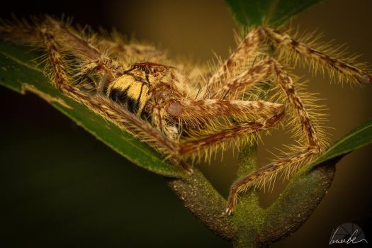 Spider by vetchyKocour
