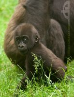 Gorilla in the Grass by thrumyeye