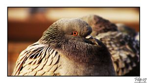 Pigeon by FLixter
