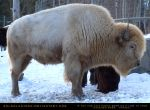 White Bison by SalsolaStock