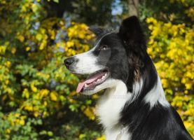 Balto, portrait with yellow leaves background by Qualisco