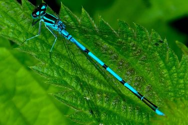 Heavenly blue damselfly by Stilleschrei
