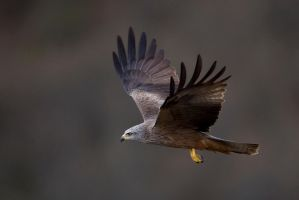Black Kite by BogdanBoev