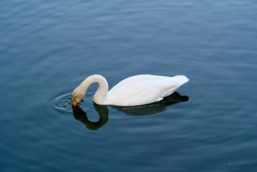 Lonely swan 2 by erysfoly