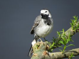 Wagtail by HammerPhotography