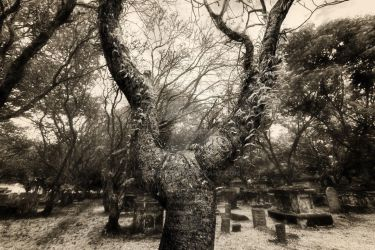 A tree in cemetery by pangwei