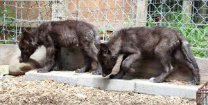 Gray Wolf Stock 36: Black Wolf Pups by HOTNStock