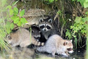 Raccoon Family by sgt-slaughter