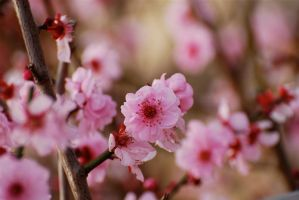 Blossoms by MrOysterhead