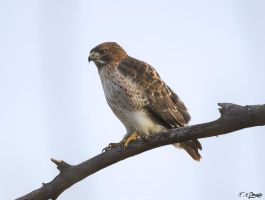 Red Tail Hawk 2 by Nini1965