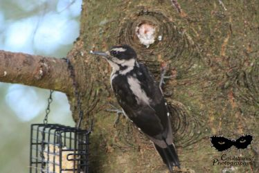 Downy Woodpecker by coldstares
