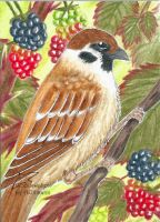 Blackberries (ACEO) by Woodswallow