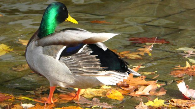 The Vibrancy of a Duck by SolitaryNerd