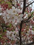 Cherry Tree Blossom by Muse-4-Life