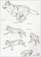 Wolf pen-sketches by blayrd