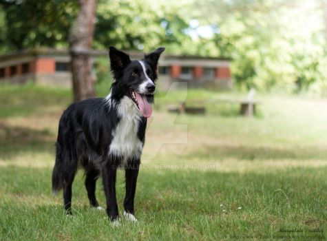 Border collie standing by Qualisco