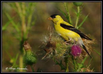 Goldfinch 8 by Ptimac