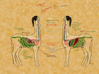 Centaur anatomy - situs excl. lung by Death-of-Fantasy