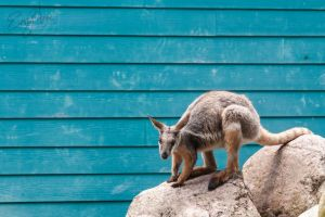 Wallaby by uncivillyemily