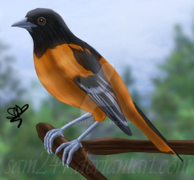 Oriole by sam241