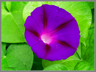 Purple Morning Glory by Mogrianne