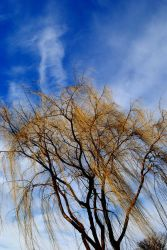 My Weeping Willow by shutterbabe2006