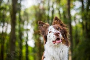 Hero the border collie by Huskana