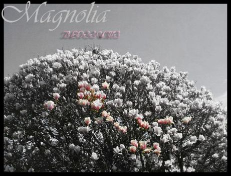 Magnolia Blossoms by angelflames