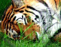 Sleeping Tiger by youkai45