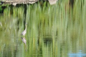 Reflections of the Great Blue Heron - 2013 by insanity-pillz