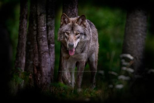 Timber Wolf in Forest by MichaelsPhotography