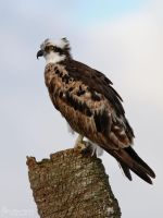 Osprey by mydigitalmind