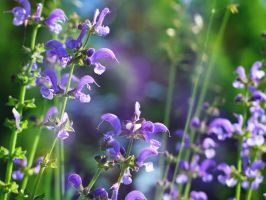 Meadow Sage by VBmonkey26