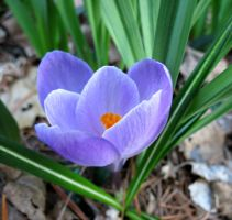 Blooming Crocus by Michies-Photographyy