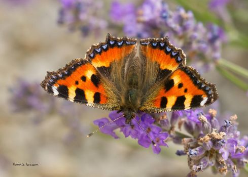 butterfly searching for nectar by roisabborrar