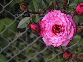 Roses on Mesh by 12monthsOFwinter