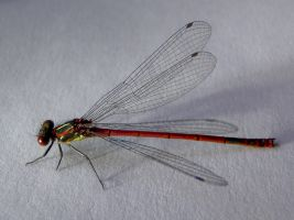 Large Red Damselfly Stock by zpyder
