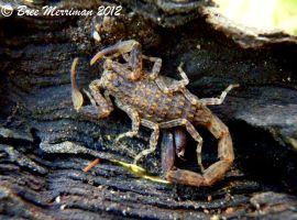 Marbled Scorpion by BreeSpawn
