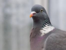 Pigeon 2 by Skrillexia-TF