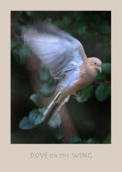 Dove on the Wing by richardcgreen