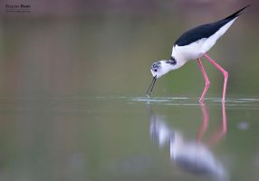Black-winged Stilt by BogdanBoev