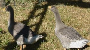 Toulouse Goose 001 by Elluka-brendmer