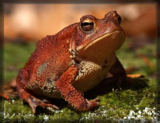 American Toad 40D0031100 by Cristian-M