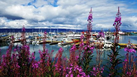 Boats and Fireweed at the Harbor in Homer, Alaska